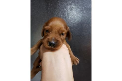アイリッシュセッターの子犬(ID:1276511001)の1枚目の写真/更新日:2020-10-04