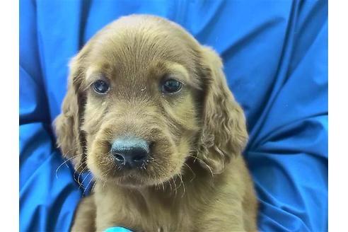アイリッシュセッターの子犬(ID:1276511002)の1枚目の写真/更新日:2020-10-04
