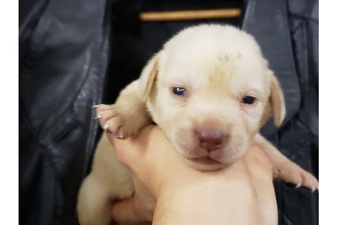 ラブラドールレトリバーの子犬(ID:1276511007)の1枚目の写真/更新日:2020-10-04