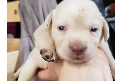 ラブラドールレトリバーの子犬(ID:1276511008)の1枚目の写真/更新日:2020-10-04