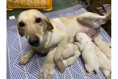 ラブラドールレトリバーの子犬(ID:1276511009)の1枚目の写真/更新日:2020-10-04