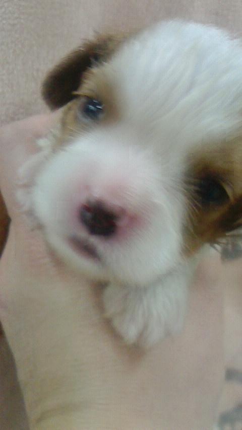 キャバリアの子犬(ID:1276511011)の1枚目の写真/更新日:2019-05-01