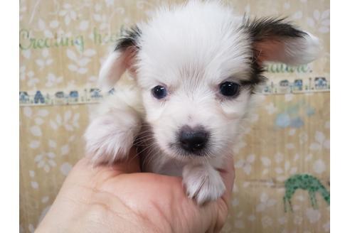 パピヨンの子犬(ID:1276511012)の1枚目の写真/更新日:2019-05-03