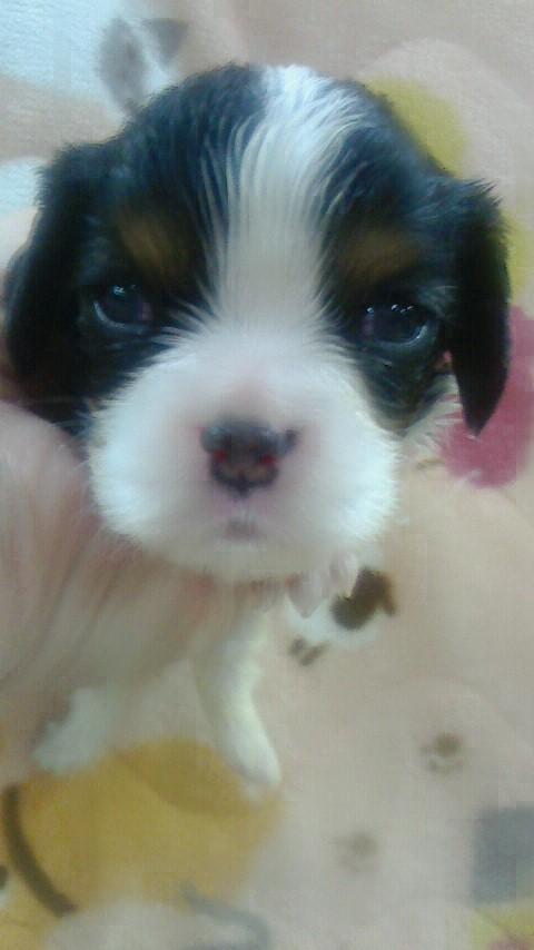 キャバリアの子犬(ID:1276511014)の1枚目の写真/更新日:2019-05-01