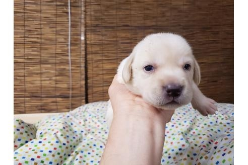 ラブラドールレトリバーの子犬(ID:1276511016)の1枚目の写真/更新日:2019-05-01