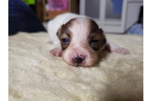 パピヨンの子犬(ID:1276511017)の1枚目の写真/更新日:2019-05-03