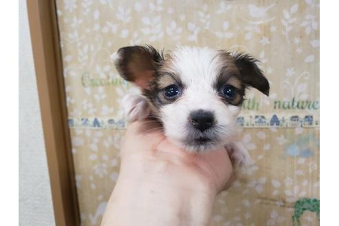 パピヨンの子犬(ID:1276511018)の1枚目の写真/更新日:2019-05-03