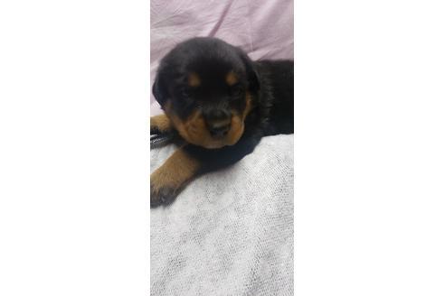 ロットワイラーの子犬(ID:1276511020)の1枚目の写真/更新日:2020-10-17