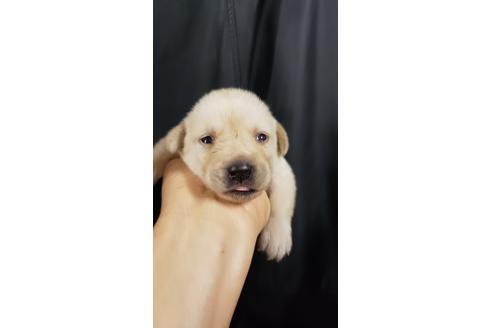 ラブラドールレトリバーの子犬(ID:1276511022)の1枚目の写真/更新日:2020-10-04