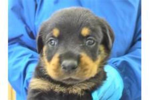 ロットワイラーの子犬(ID:1276511023)の1枚目の写真/更新日:2020-10-17