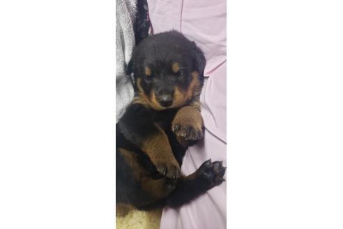 ロットワイラーの子犬(ID:1276511024)の1枚目の写真/更新日:2020-10-17