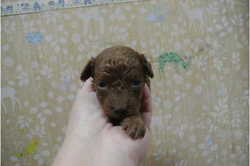 トイプードルの子犬(ID:1276511038)の1枚目の写真/更新日:2020-12-18