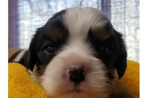キャバリアの子犬(ID:1276511054)の1枚目の写真/更新日:2021-02-19