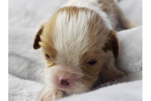 キャバリアの子犬(ID:1276511056)の1枚目の写真/更新日:2021-02-19