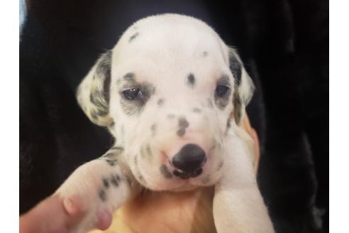ダルメシアンの子犬(ID:1276511063)の1枚目の写真/更新日:2021-03-25