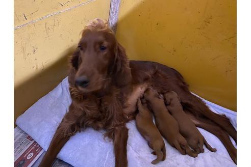 アイリッシュセッターの子犬(ID:1276511064)の1枚目の写真/更新日:2021-03-25