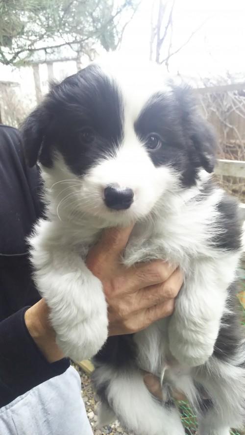 ボーダーコリーの子犬(ID:1276611001)の1枚目の写真/更新日:2019-03-27