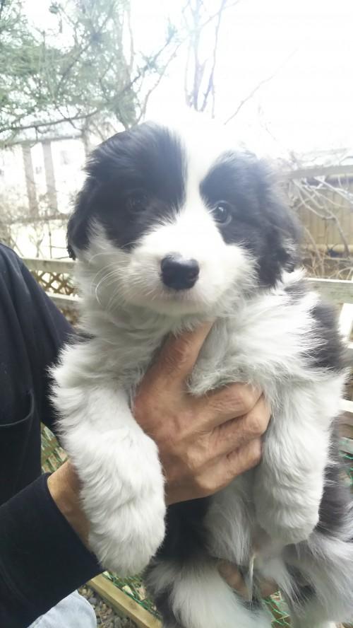 ボーダーコリーの子犬(ID:1276611001)の2枚目の写真/更新日:2019-03-27