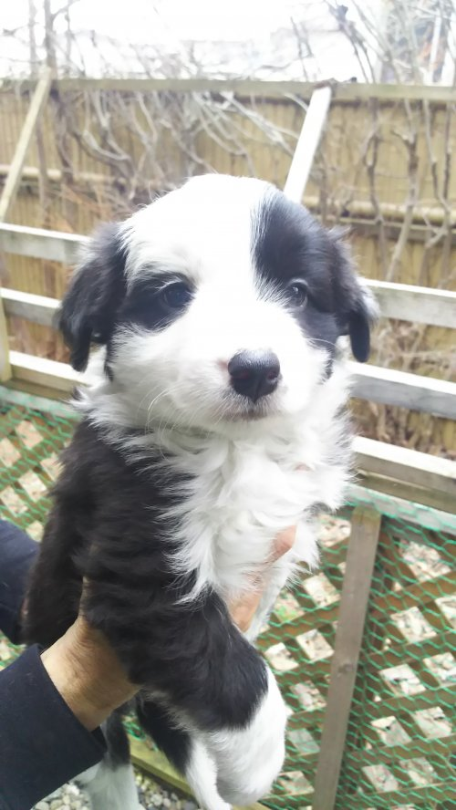 ボーダーコリーの子犬(ID:1276611002)の1枚目の写真/更新日:2019-03-28