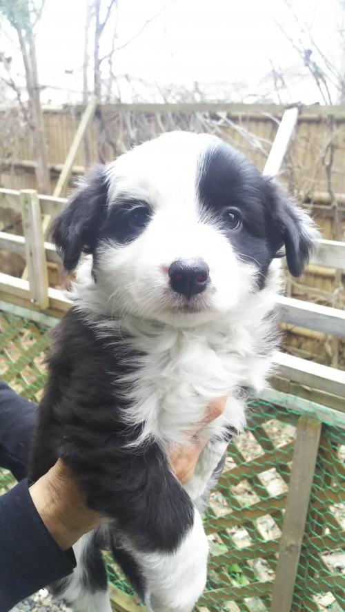 ボーダーコリーの子犬(ID:1276611002)の2枚目の写真/更新日:2019-03-28