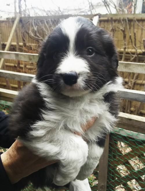 ボーダーコリーの子犬(ID:1276611003)の1枚目の写真/更新日:2019-03-28