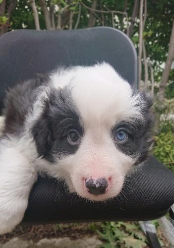 ボーダーコリーの子犬(ID:1276611008)の1枚目の写真/更新日:2020-07-07