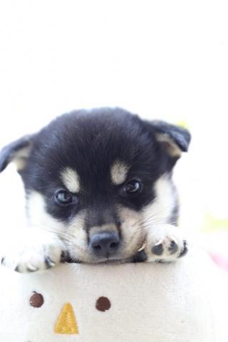 柴犬の子犬(ID:1276911007)の1枚目の写真/更新日:2019-07-09