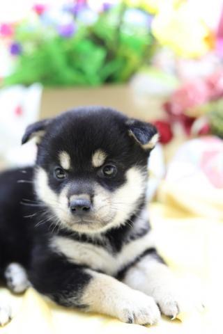 柴犬の子犬(ID:1276911007)の2枚目の写真/更新日:2019-07-09