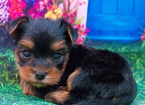 ヨークシャーテリアの子犬(ID:1277011003)の2枚目の写真/更新日:2019-07-13
