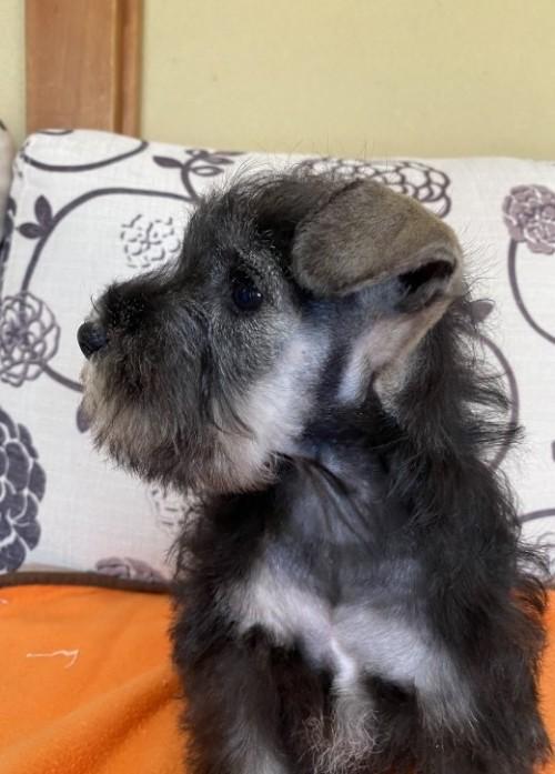 ミニチュアシュナウザーの子犬(ID:1277211001)の2枚目の写真/更新日:2020-01-17