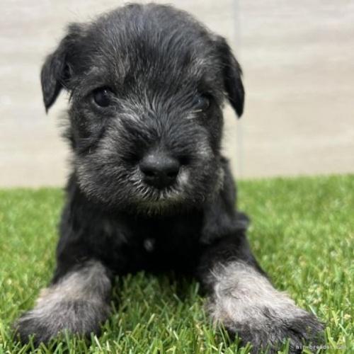 ミニチュアシュナウザーの子犬(ID:1277211002)の1枚目の写真/更新日:2019-05-16