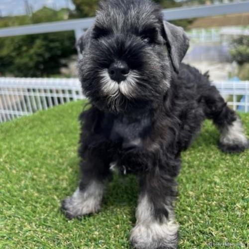 ミニチュアシュナウザーの子犬(ID:1277211003)の1枚目の写真/更新日:2019-05-16