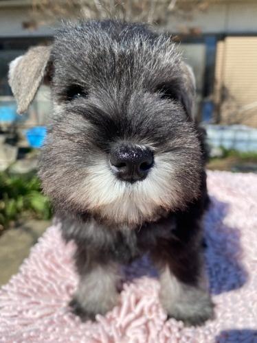 ミニチュアシュナウザーの子犬(ID:1277211010)の1枚目の写真/更新日:2020-01-13