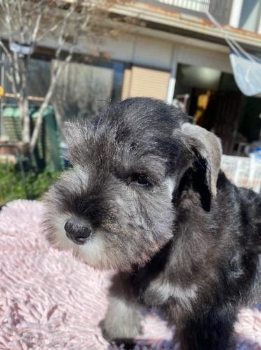 ミニチュアシュナウザーの子犬(ID:1277211010)の2枚目の写真/更新日:2020-01-13