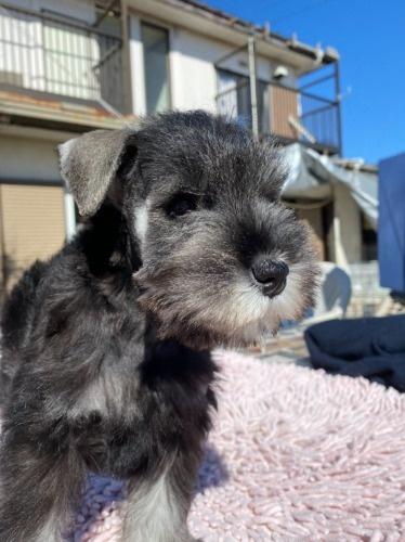 ミニチュアシュナウザーの子犬(ID:1277211010)の3枚目の写真/更新日:2020-01-13