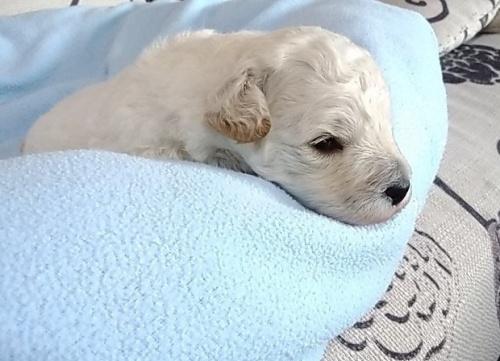 トイプードルの子犬(ID:1277211013)の2枚目の写真/更新日:2019-10-25
