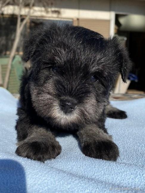 ミニチュアシュナウザーの子犬(ID:1277211024)の1枚目の写真/更新日:2020-01-01