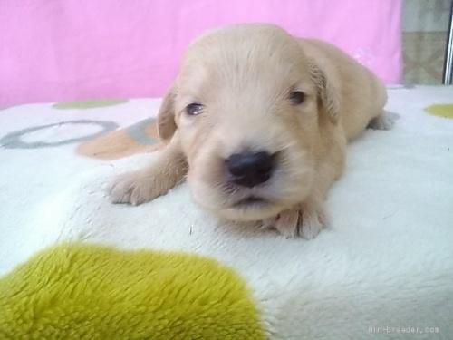 ゴールデンレトリバーの子犬(ID:1277211026)の1枚目の写真/更新日:2020-05-13