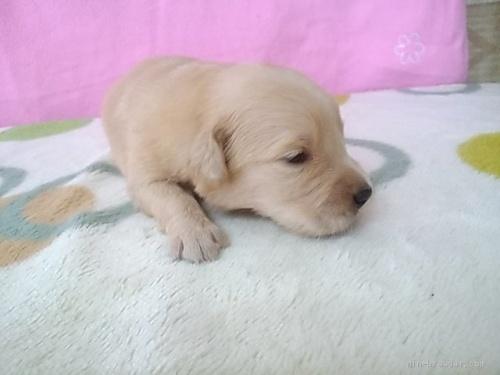 ゴールデンレトリバーの子犬(ID:1277211026)の2枚目の写真/更新日:2020-05-13