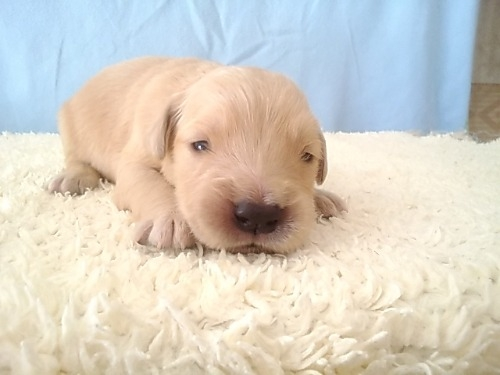 ゴールデンレトリバーの子犬(ID:1277211036)の1枚目の写真/更新日:2020-05-10