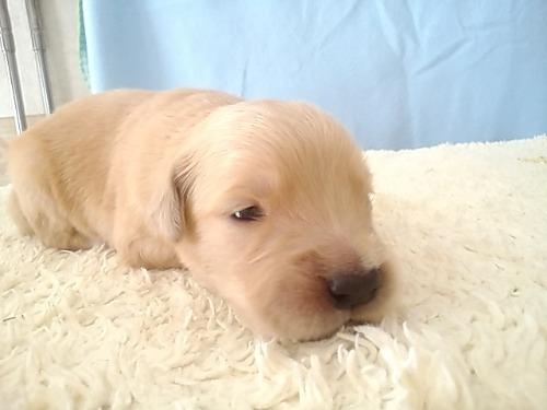 ゴールデンレトリバーの子犬(ID:1277211036)の2枚目の写真/更新日:2020-05-10
