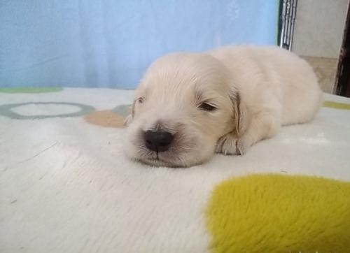 ゴールデンレトリバーの子犬(ID:1277211038)の2枚目の写真/更新日:2020-05-14