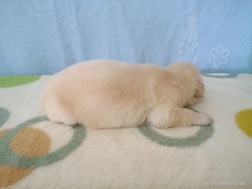 ゴールデンレトリバーの子犬(ID:1277211038)の3枚目の写真/更新日:2020-05-14