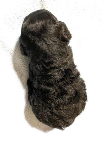 トイプードルの子犬(ID:1277211046)の3枚目の写真/更新日:2020-09-02