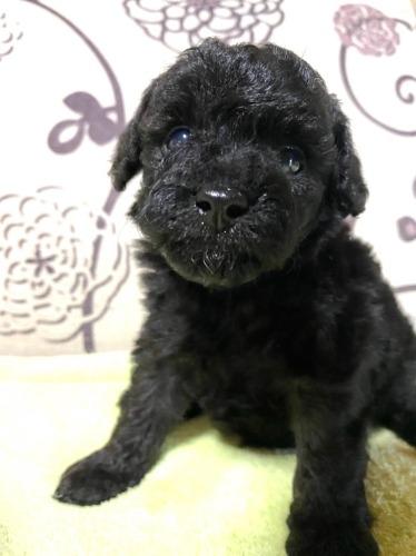 トイプードルの子犬(ID:1277211047)の1枚目の写真/更新日:2020-09-12