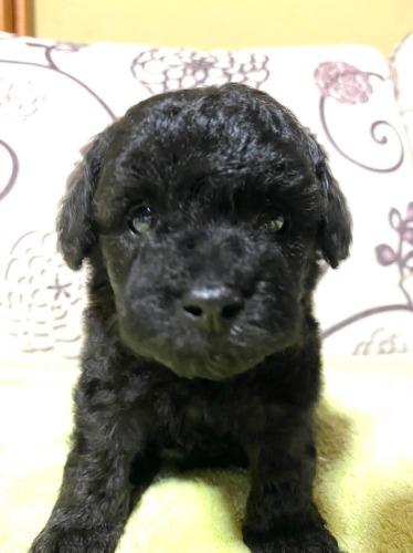 トイプードルの子犬(ID:1277211047)の2枚目の写真/更新日:2020-09-12