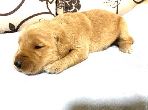 ゴールデンレトリバーの子犬(ID:1277211054)の2枚目の写真/更新日:2020-11-06