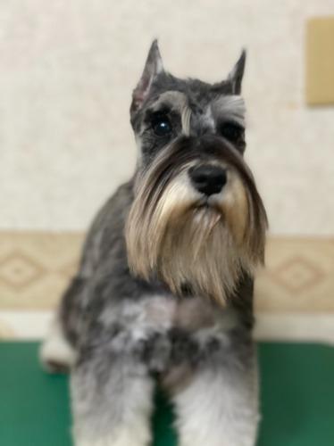 ミニチュアシュナウザーの子犬(ID:1277211061)の2枚目の写真/更新日:2021-02-19
