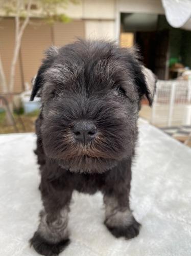 ミニチュアシュナウザーの子犬(ID:1277211066)の1枚目の写真/更新日:2021-04-04