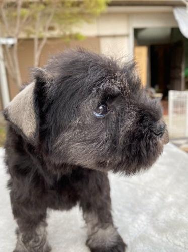 ミニチュアシュナウザーの子犬(ID:1277211066)の2枚目の写真/更新日:2021-04-04